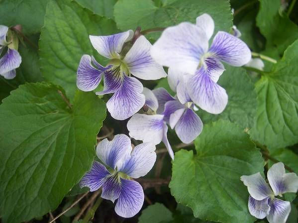 Flowers Garden Violets White Purple Green Poster featuring the photograph Violets 2 by Anna Villarreal Garbis