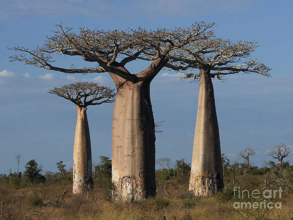Nature Poster featuring the photograph baobabs of Madagascar by Rudi Prott