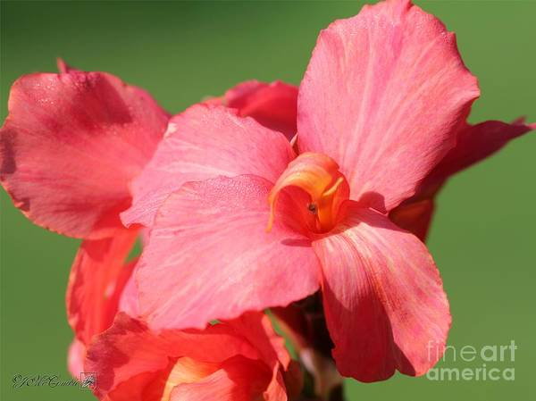 Canna Poster featuring the photograph Dwarf Canna Lily Named Shining Pink by J McCombie