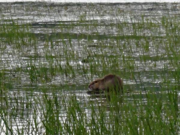 Ridgefield National Wildlife Refuge Poster featuring the photograph Beaver On Rest Lake by Lizbeth Bostrom