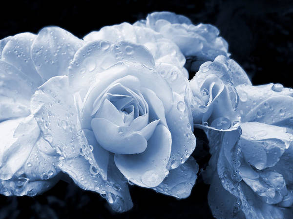 Rose Poster featuring the photograph Blue Roses With Raindrops by Jennie Marie Schell