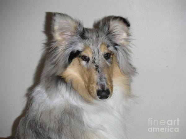 Blue Merle Poster featuring the photograph Collie by David Grant