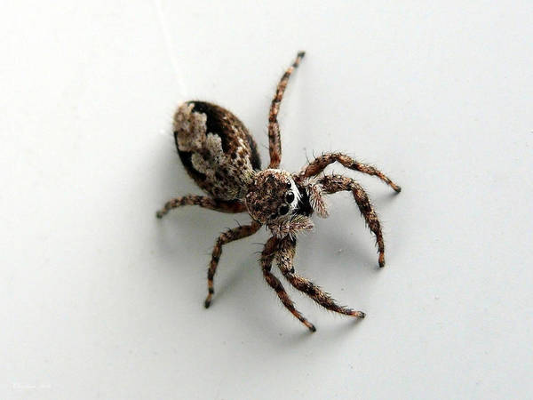 Spider Poster featuring the photograph Elegant Jumping Spider by Christina Rollo