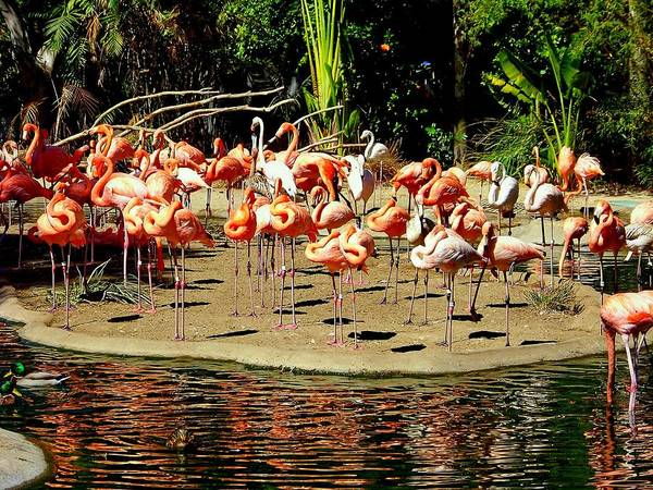Flamingos Poster featuring the photograph Flamingo Family Reunion by Karen Wiles