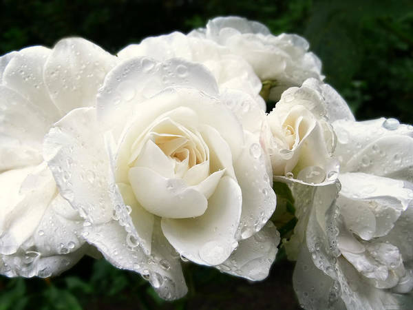 Rose Poster featuring the photograph Ivory Rose Bouquet by Jennie Marie Schell