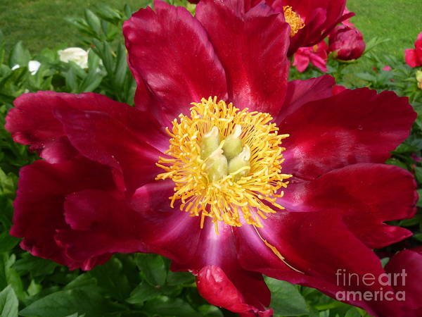 Peony Flower Poster featuring the photograph Mahogany Peony by Lingfai Leung