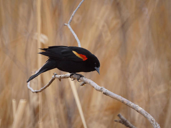Red Winged Blackbird Poster featuring the photograph Red Winged Blackbird 1 by Ernie Echols