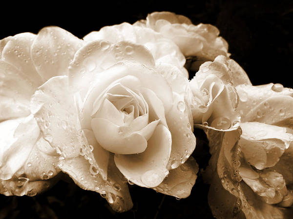 Rose Poster featuring the photograph Sepia Roses With Rain Drops by Jennie Marie Schell
