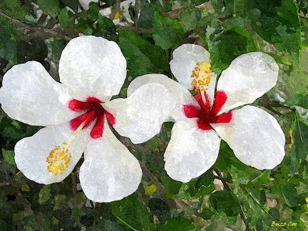 Hibiscus Poster featuring the photograph White Twin Hibiscus With Red Veriegation by Buzz Coe