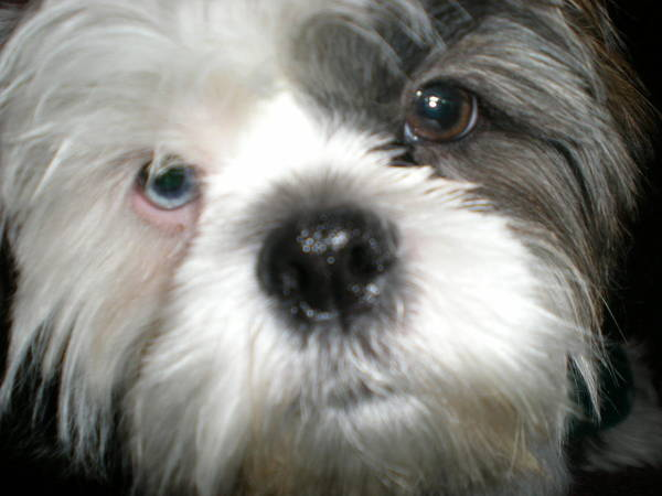 Shih Tsu Face Poster featuring the photograph Baby Face Dog by Sherry Hunter