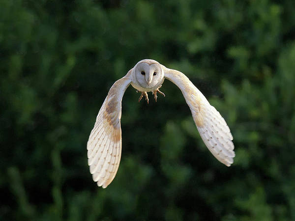 Horizontal Poster featuring the photograph Barn Owl Flying by Tony McLean