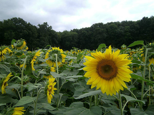 Sunflower Poster featuring the photograph Buttonwoods Sunflowers by Jason Sawicki
