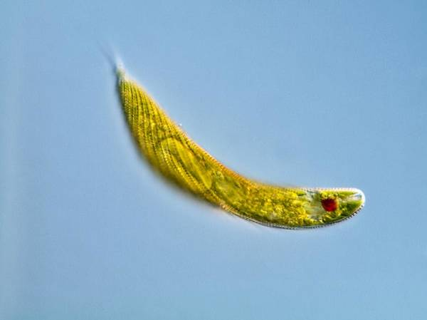 Euglena Spirogyra Poster featuring the photograph Euglena Protozoan, Light Micrograph by Gerd Guenther