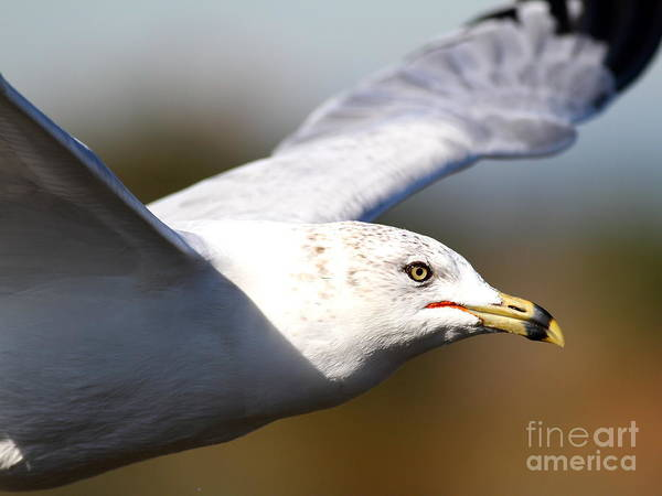 Bird Poster featuring the photograph Flying Seagull Closeup by Wingsdomain Art and Photography