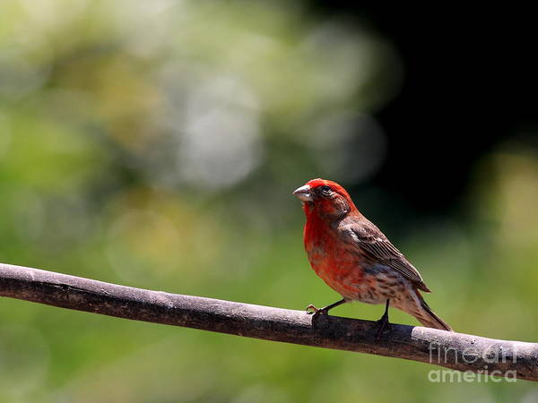 Animal Poster featuring the photograph House Finch Bird . 40d7605 by Wingsdomain Art and Photography