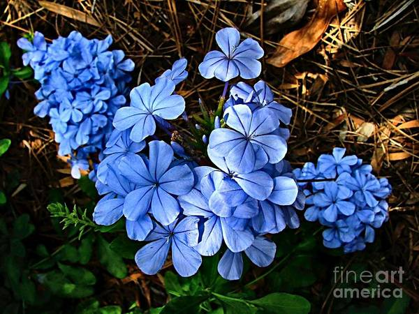 Blue Flowers Poster featuring the photograph On The Forest Floor by Julie Dant