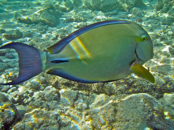 Acanthurus Poster featuring the photograph Ringtail Surgeonfish by Michael Peychich