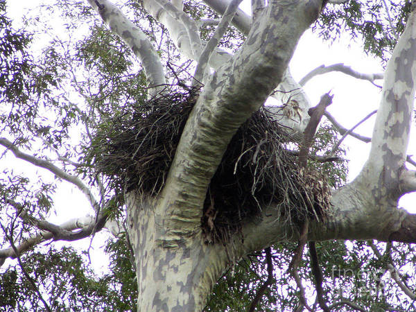 Eagle Nest Photographs Poster featuring the photograph Sea Eagle Nest by Joanne Kocwin