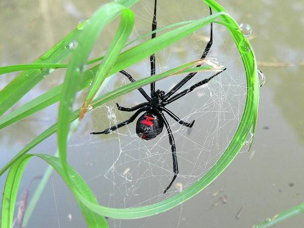 Spider Poster featuring the photograph Black Widow Wheel by Al Powell Photography USA