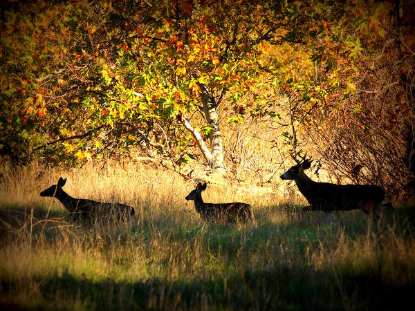 Landscape Poster featuring the photograph Deer Family In Sycamore Park by Carol Groenen