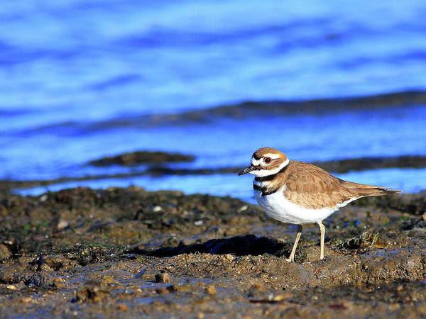 Bird Migration Poster featuring the photograph Killdeer . 40d4101 by Wingsdomain Art and Photography
