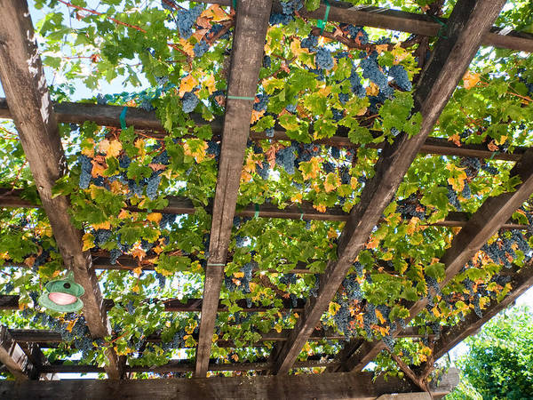 Agriculture Poster featuring the photograph Red Grapes Hanging From A Trellis Napa Valley California by George Oze