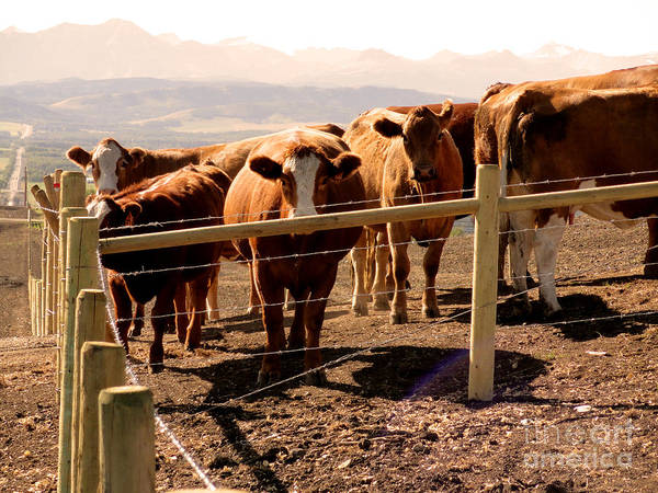 Al Bourassa Poster featuring the photograph Rockies Cattle Country by Al Bourassa