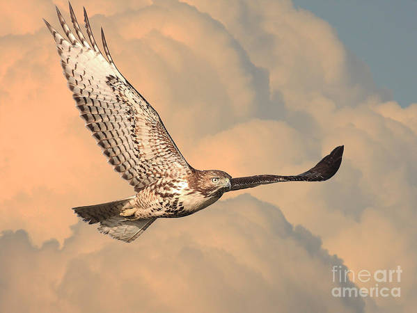 Wingsdomain Poster featuring the photograph Soaring Hawk by Wingsdomain Art and Photography
