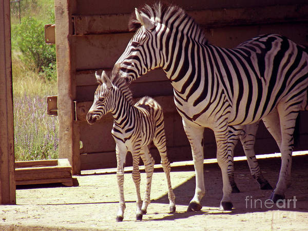Zebra Mom And Baby Poster featuring the photograph Zebra Mom And Baby by Methune Hively
