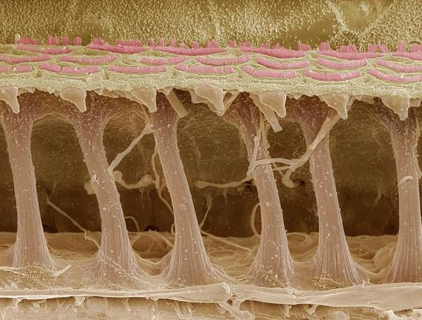 Electron Microscope Poster featuring the photograph Inner Ear Hair Cells, Sem by Steve Gschmeissner