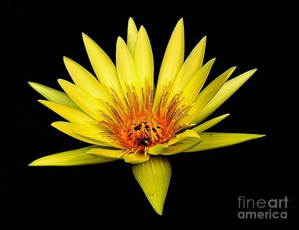 Aquatic Poster featuring the photograph Yellow Water Lily by Nick Zelinsky