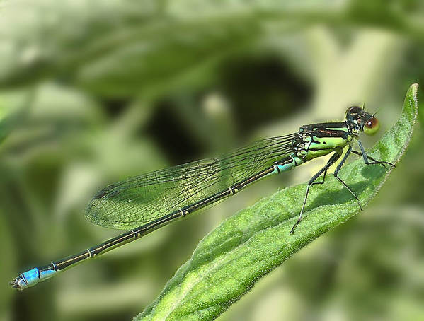 Dragon Poster featuring the photograph Dragonfly1 by Svetlana Sewell
