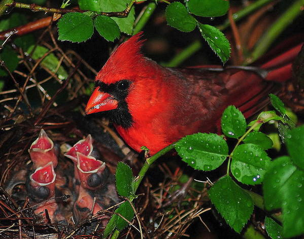 Cardinal Poster featuring the photograph Midnight Snack Ll by Frozen in Time Fine Art Photography