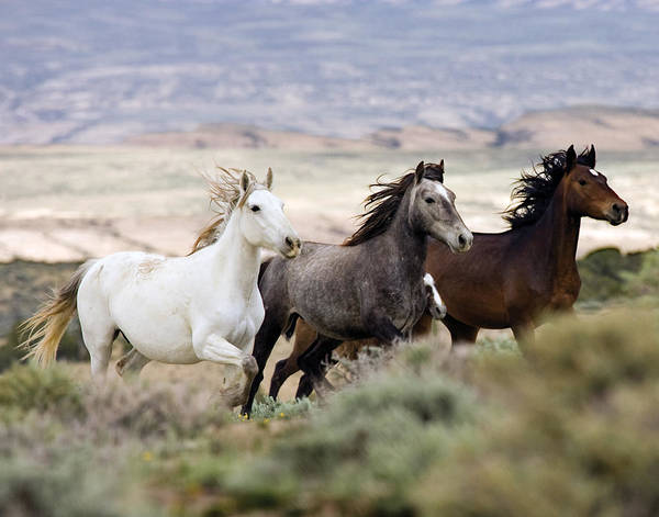 Wild Horses Poster featuring the photograph Three Mares Running by Carol Walker