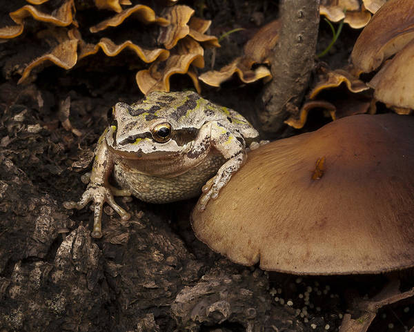 Frog Poster featuring the photograph Fat Frog by Jean Noren