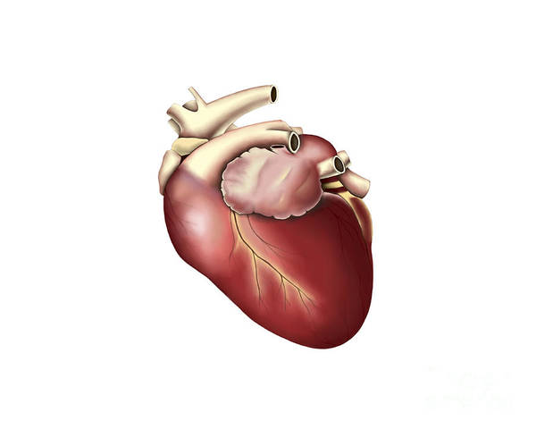 Horizontal Poster featuring the digital art Illustration Of Human Heart by Stocktrek Images