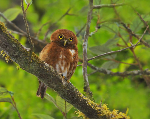Costa Rican Pygmy Owl Poster featuring the photograph Rufous Morph Costa Rican Pygmy-owl by Tony Beck