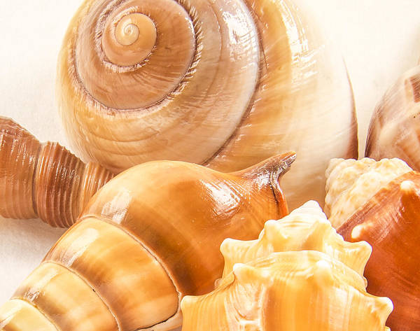 Shell Poster featuring the photograph Shells by Jean Noren