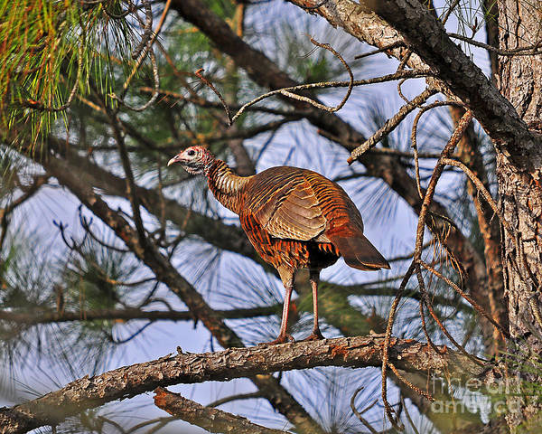Turkey Poster featuring the photograph Turkey In A Tree by Al Powell Photography USA