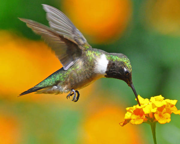 Hummingbird Poster featuring the photograph A Nice Hummer by Jessie Dickson