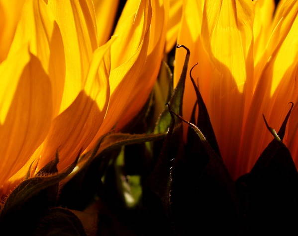 Fiery Poster featuring the photograph Fiery Sunflowers by Kume Bryant