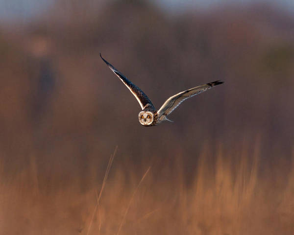 Horizontal Poster featuring the photograph Short-eared Owl by Photo by DCDavis