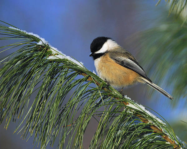 Black-capped Chickadee Poster featuring the photograph Black-capped Chickadee by Tony Beck