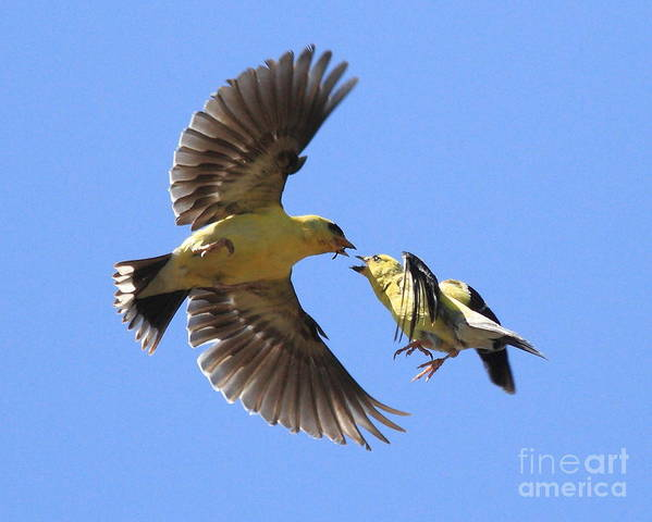 Bird Poster featuring the photograph American Goldfinch Exchange by Wingsdomain Art and Photography