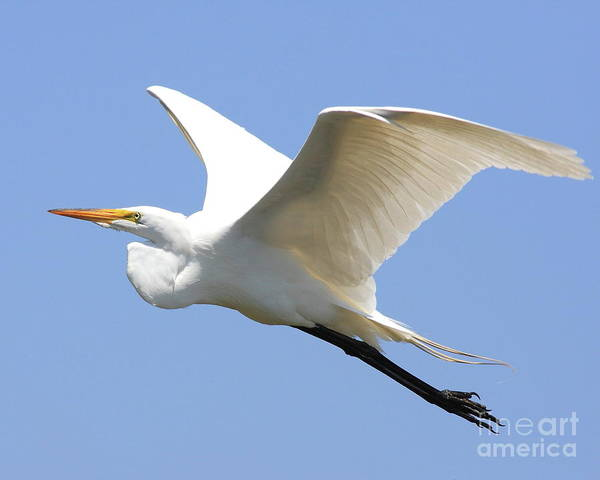 Bird Poster featuring the photograph Great White Egret In Flight . 40d6845 by Wingsdomain Art and Photography