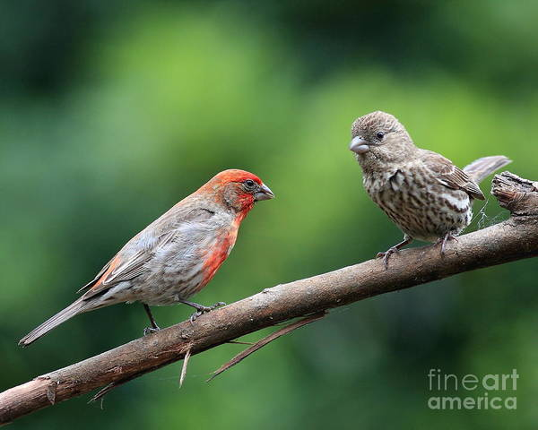 Wildlife Poster featuring the photograph House Finch Courtship by Wingsdomain Art and Photography