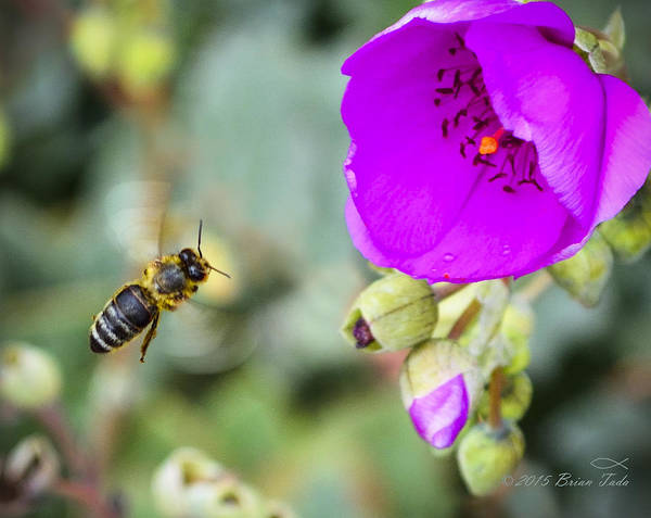 Honeybee Poster featuring the photograph Nectar Run by Brian Tada
