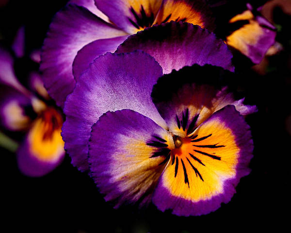 Pansies Poster featuring the photograph Pansies by Rona Black