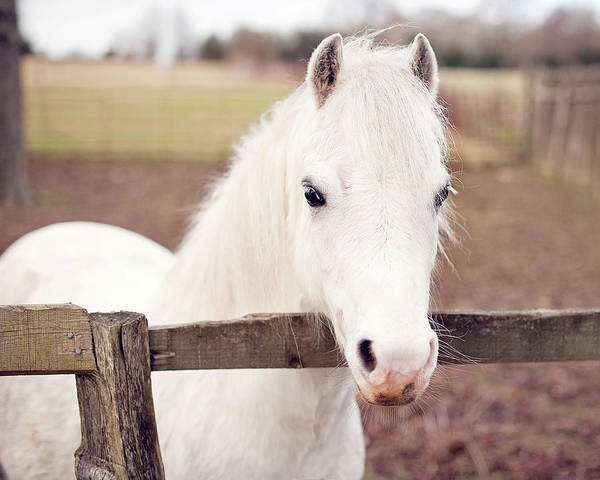 Horizontal Poster featuring the photograph Pretty White Pony Looking Over Fence by Sharon Vos-Arnold