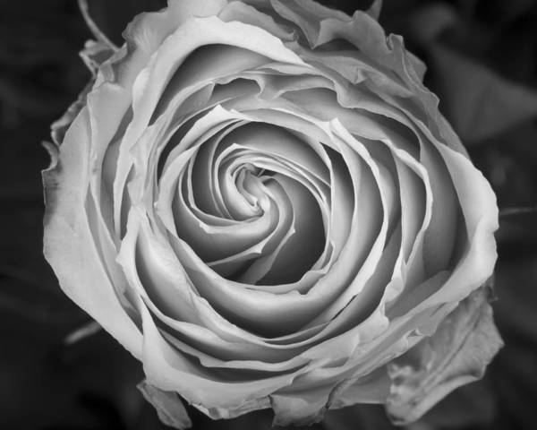 Rose Poster featuring the photograph Rose Spiral Black And White by James BO Insogna